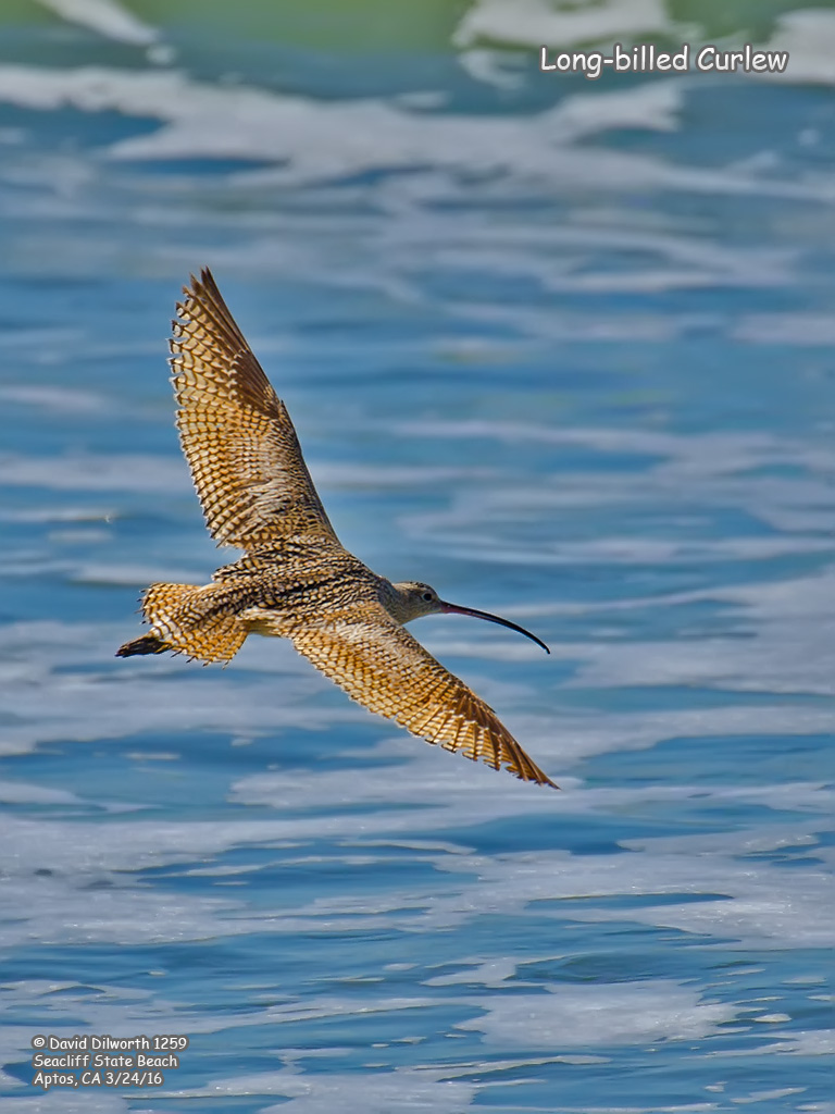 1259 Long-billed Curlew