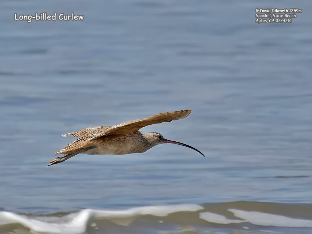 1259m Long-billed Curlew