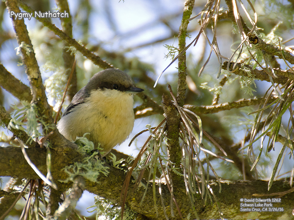 1262 Pygmy Nuthatch