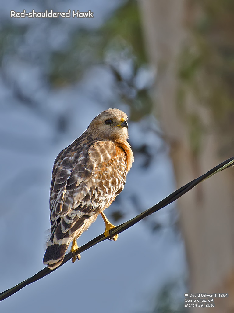 1264 Red-shouldered Hawk