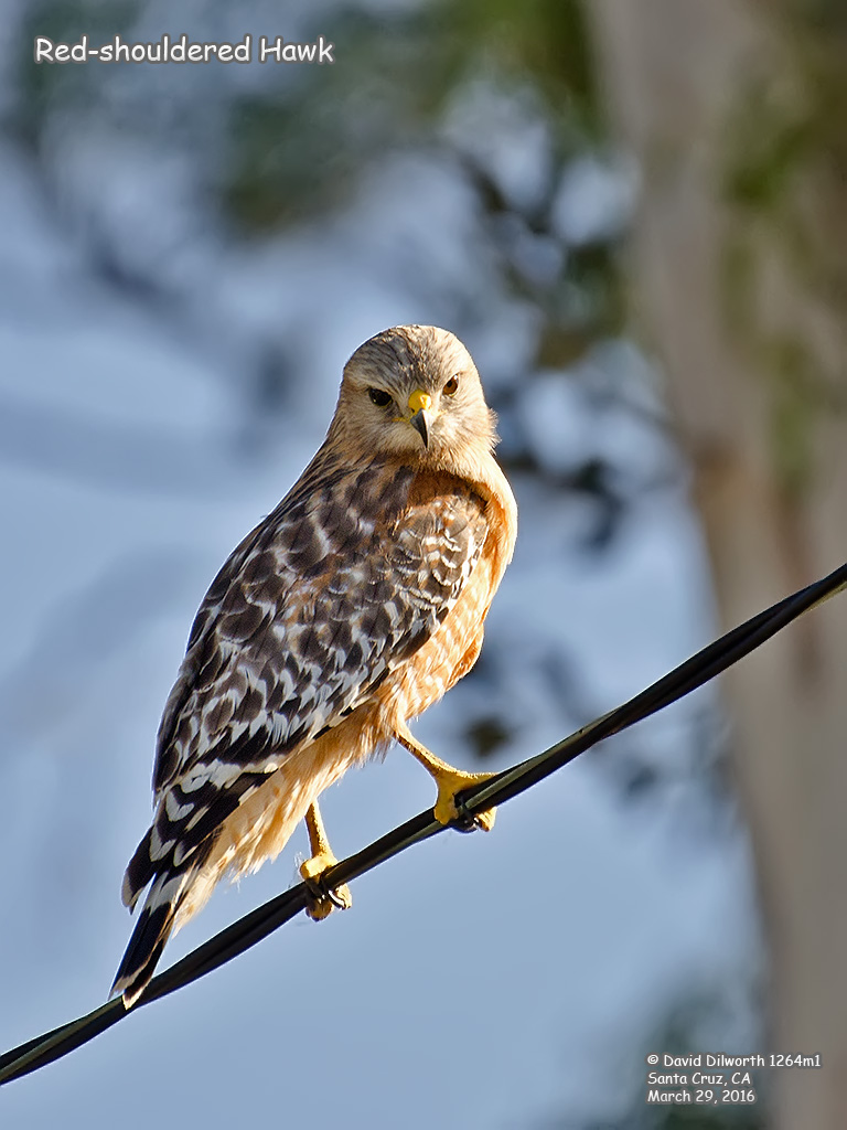 1264m1 Red-shouldered Hawk