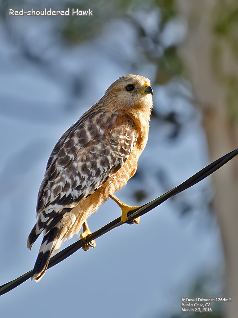 1264m2 Red-shouldered Hawk