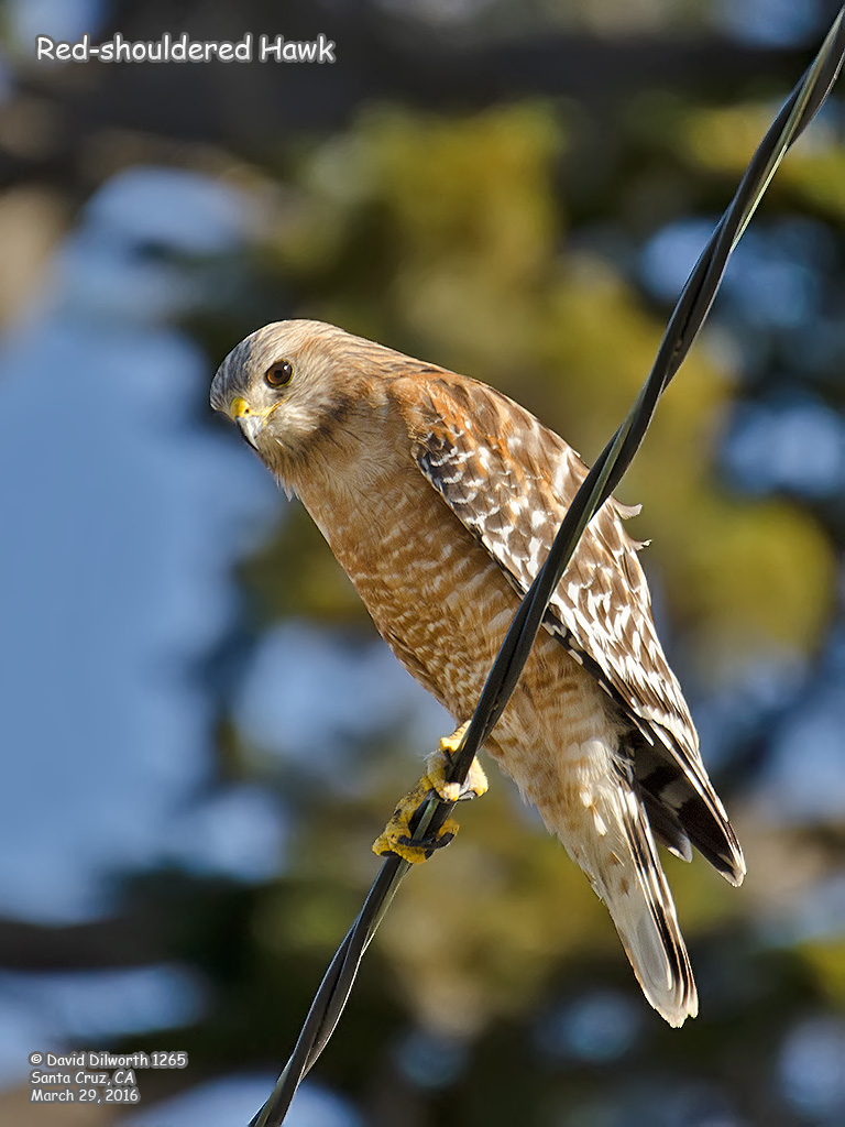 1265 Red-shouldered Hawk