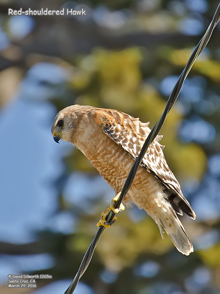 1265m Red-shouldered Hawk