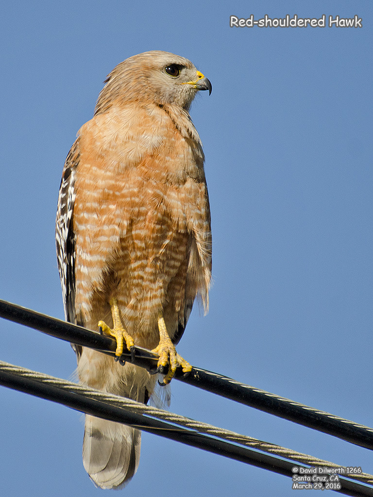 1266 Red-shouldered Hawk