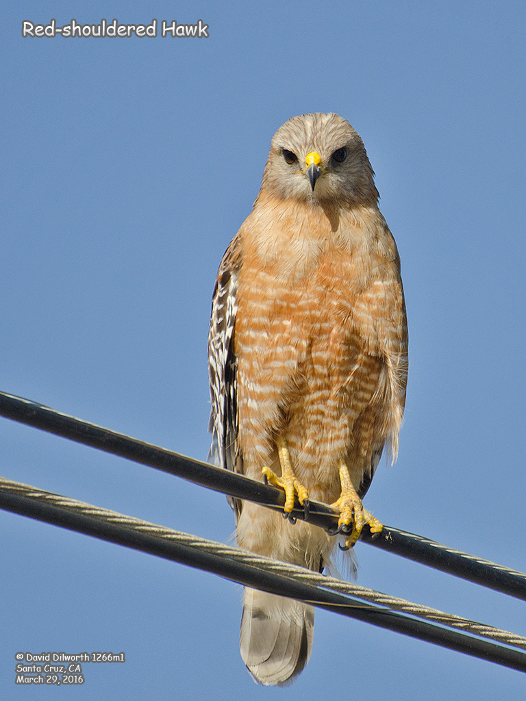 1266m1 Red-shouldered Hawk