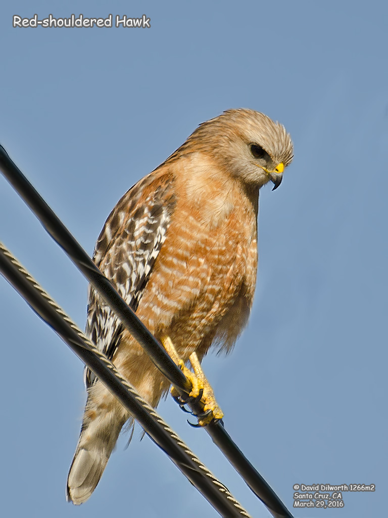 1266m2 Red-shouldered Hawk