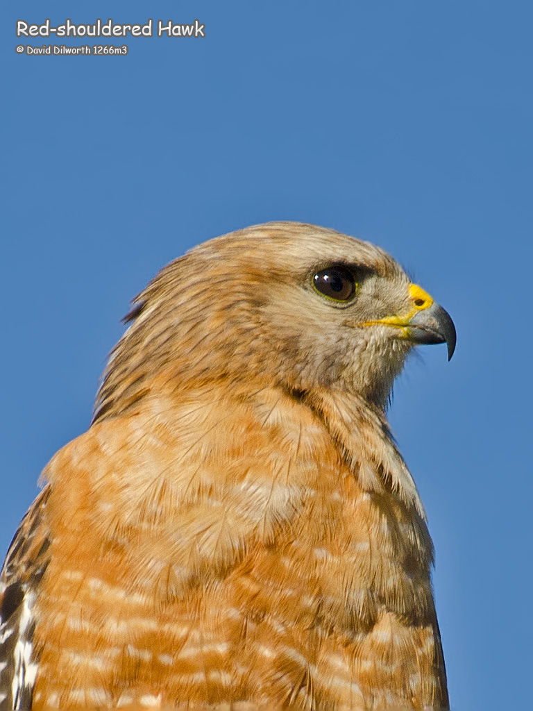 1266m3 Red-shouldered Hawk