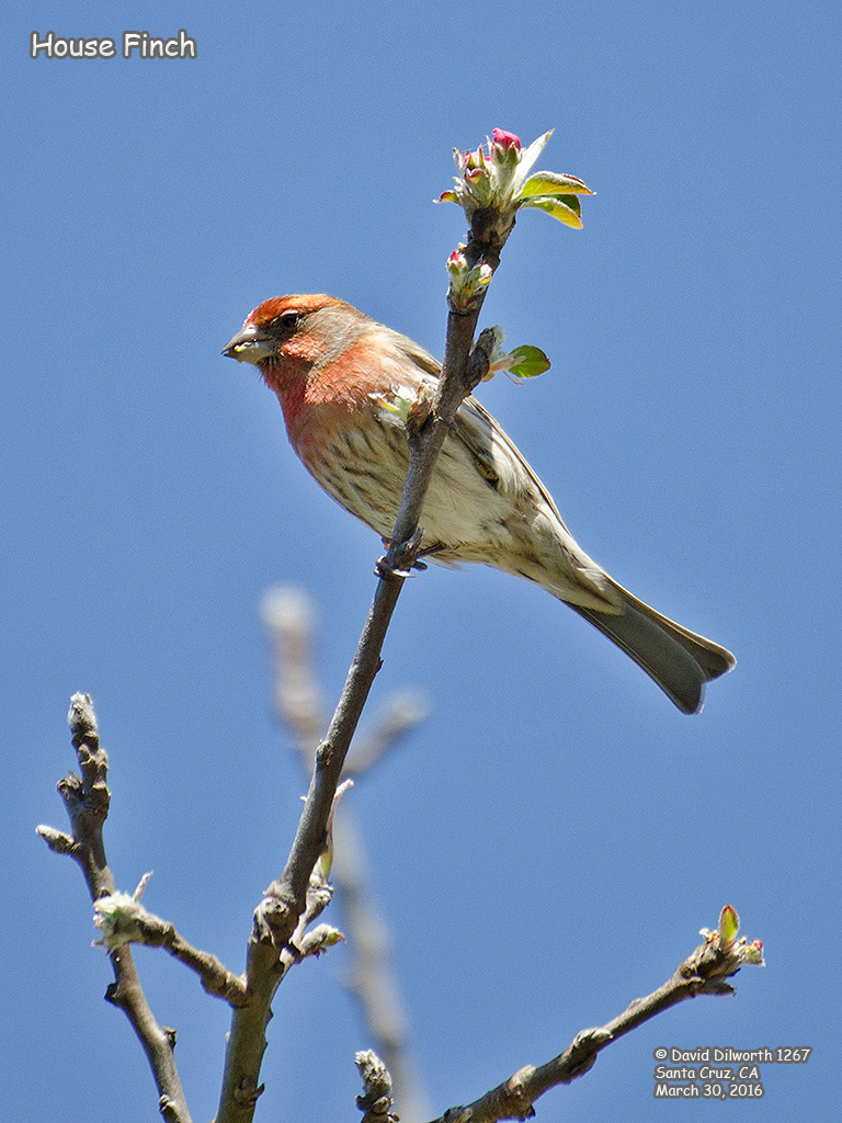 1267 House Finch