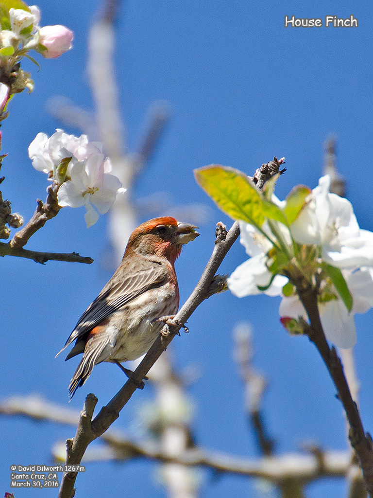 1267m House Finch