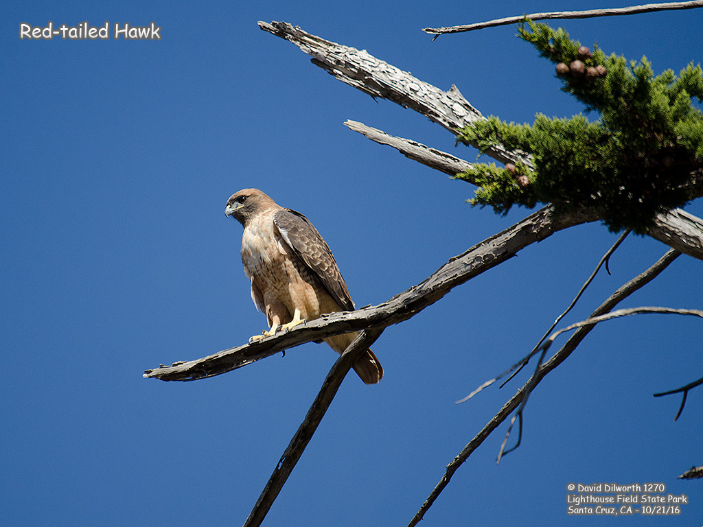 1270 Red-tailed Hawk