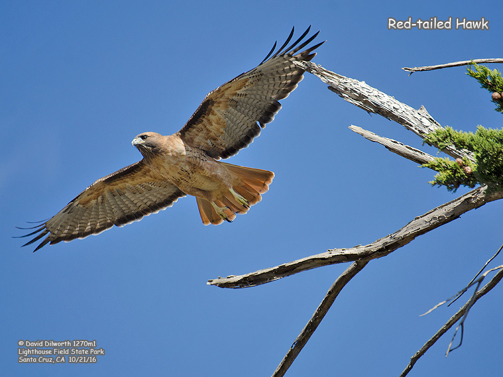 1270m1 Red-tailed Hawk