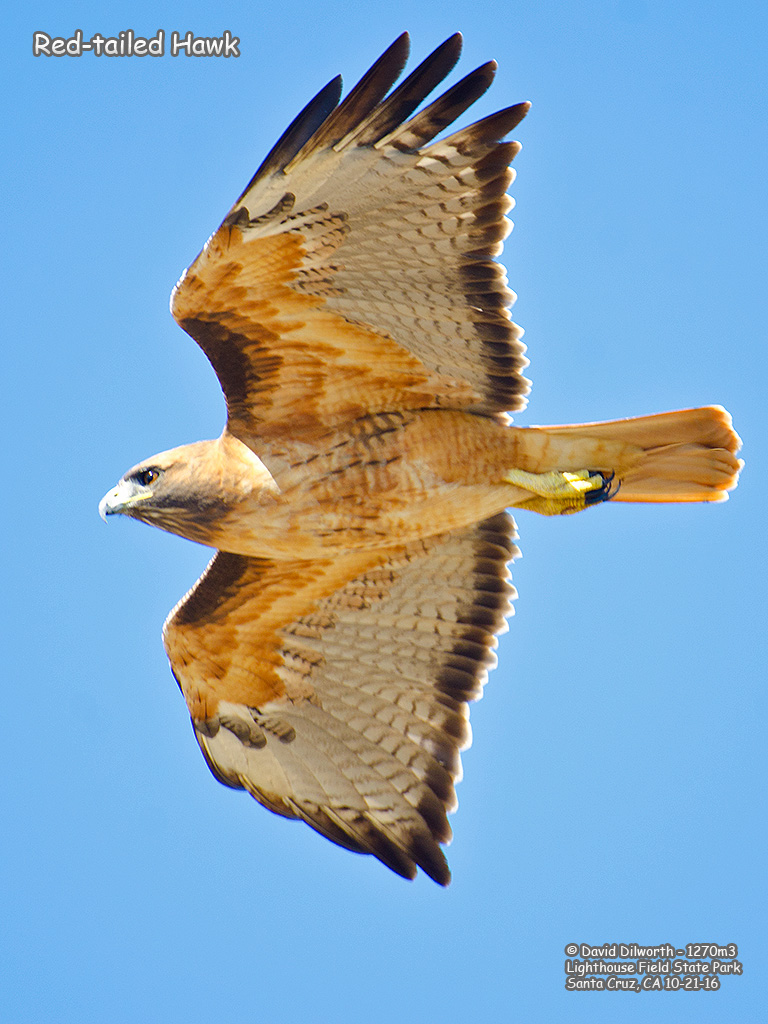1270m2 Red-tailed Hawk