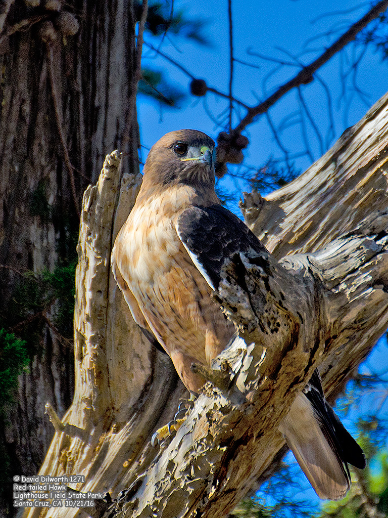 1271 Red-tailed Hawk