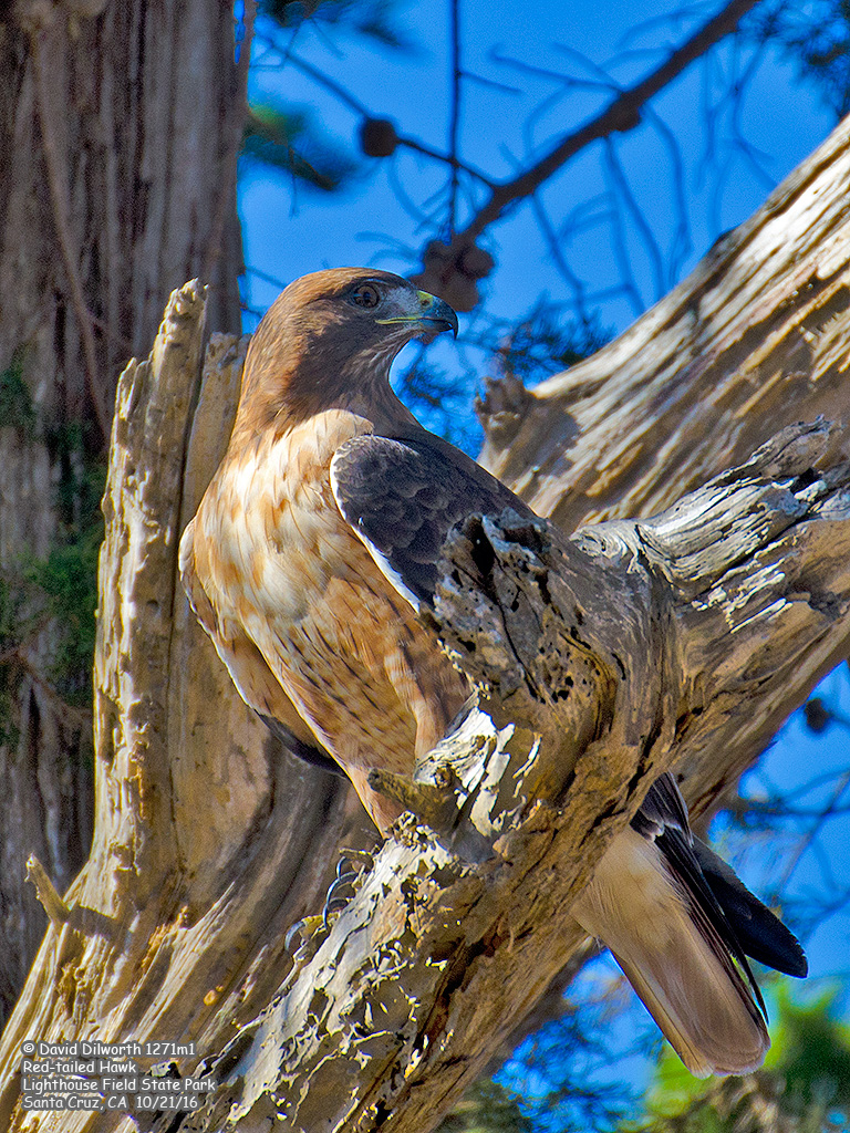 1271m1 Red-tailed Hawk