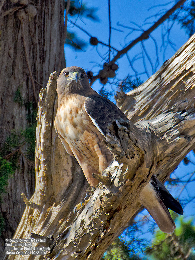 1271m3 Red-tailed Hawk