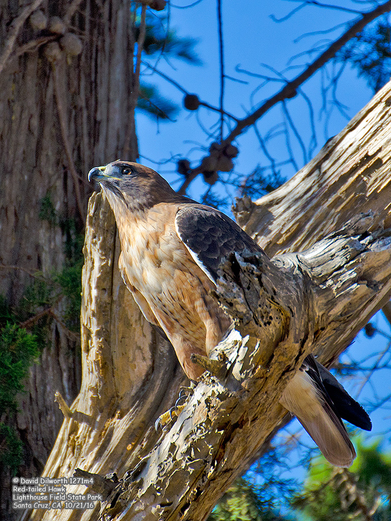 1271m4 Red-tailed Hawk