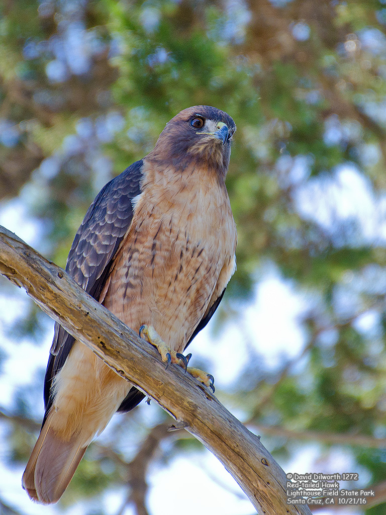 1272 Red-tailed Hawk