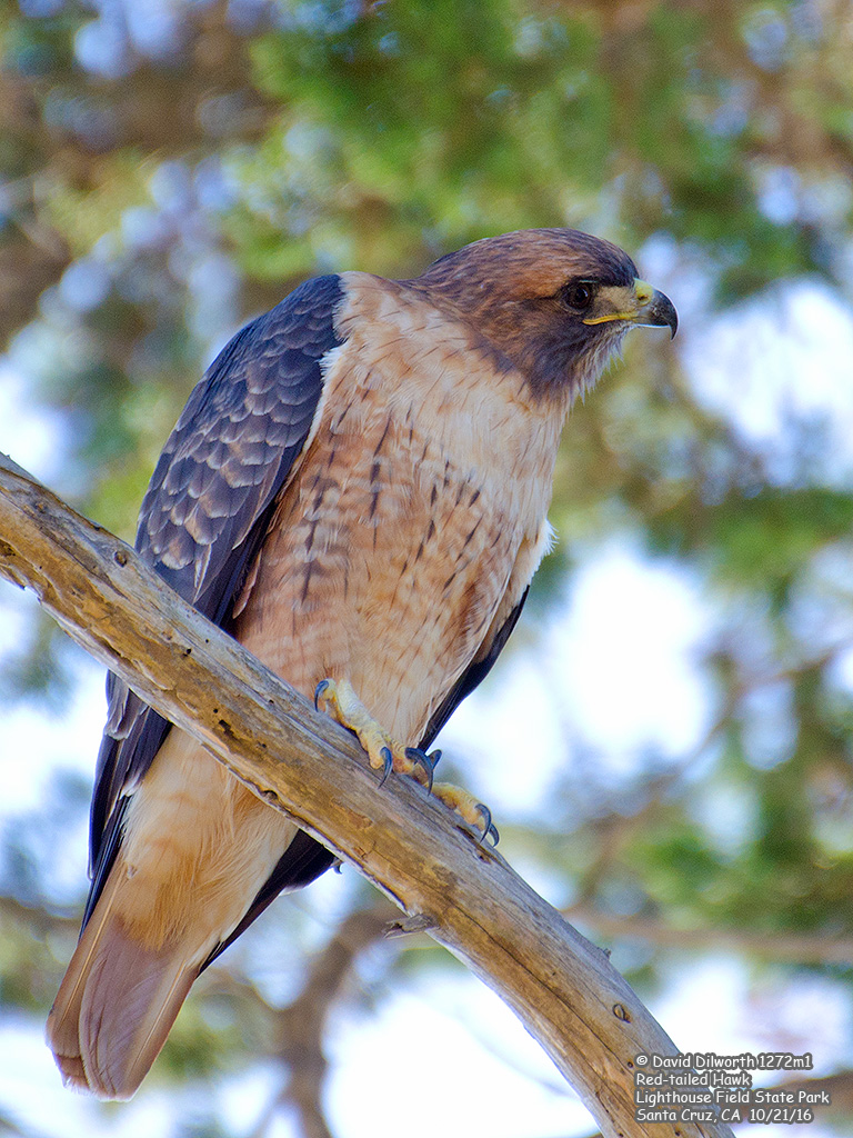 1272m1 Red-tailed Hawk