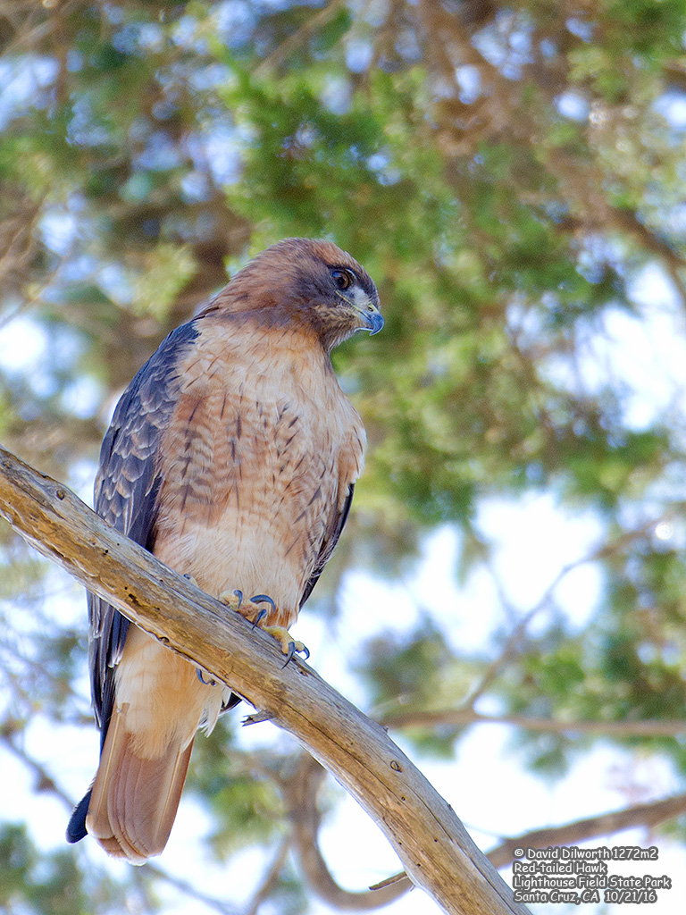 1272m2 Red-tailed Hawk