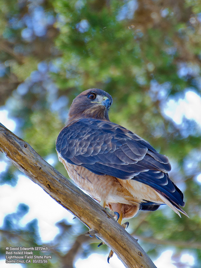1272m3 Red-tailed Hawk