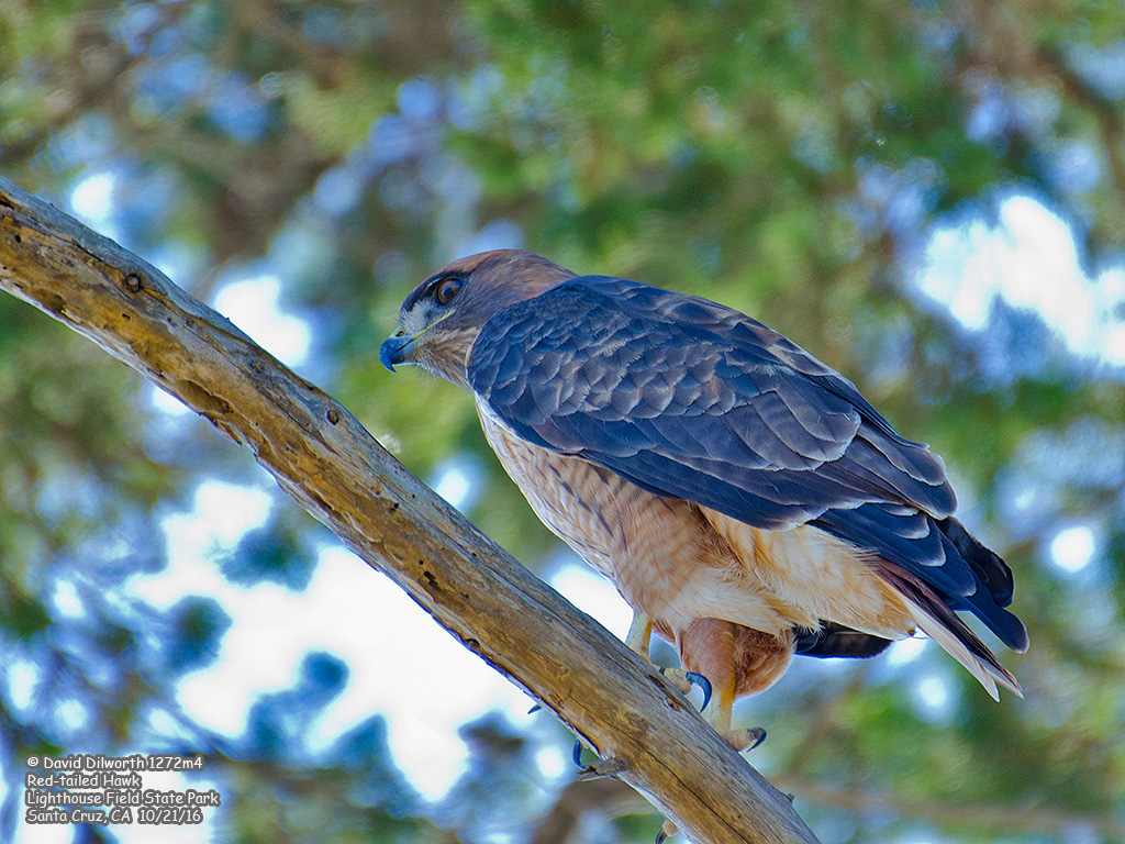 1272m4 Red-tailed Hawk