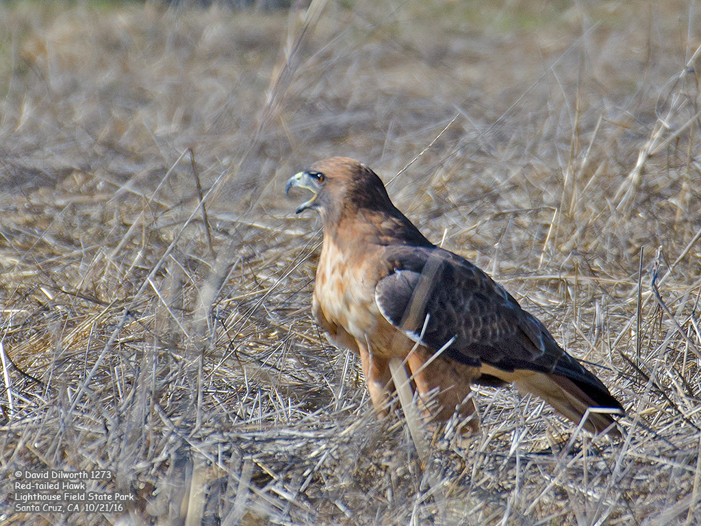 1273 Red-tailed Hawk