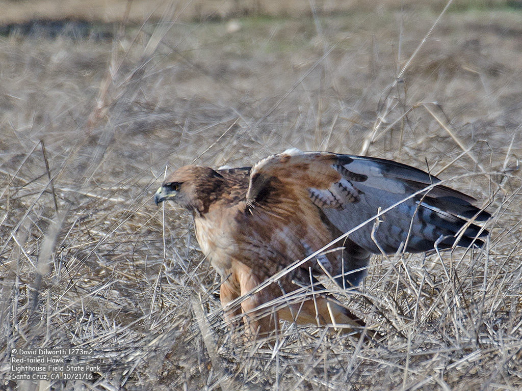 1273m2 Red-tailed Hawk