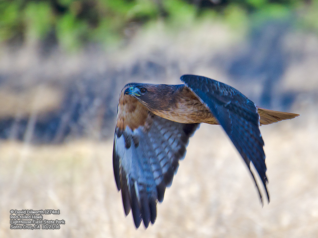 1274m1 Red-tailed Hawk