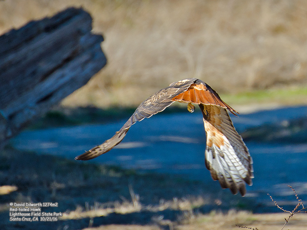 1274m2 Red-tailed Hawk