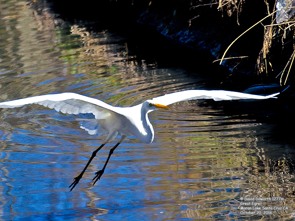 1277m Great Egret