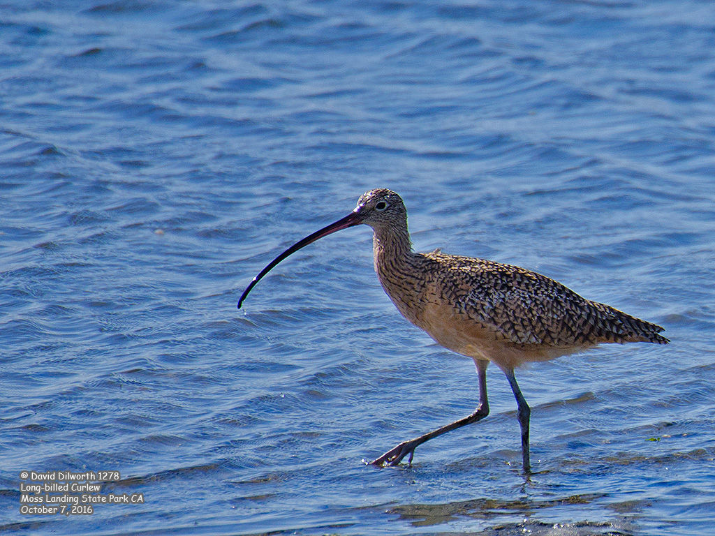 1278 Long-billed Curlew