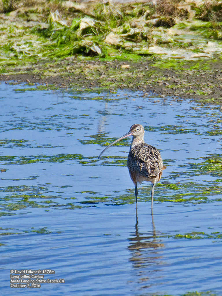 1278m Long-billed Curlew