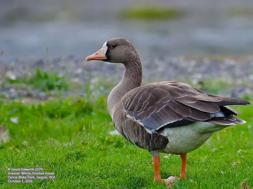 1279 Greater White-fronted Goose