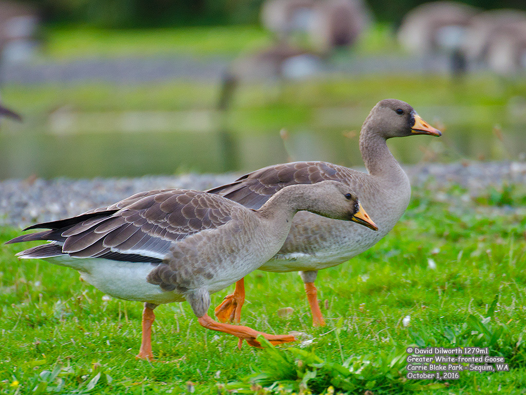 1279m1 Greater White-fronted Goose