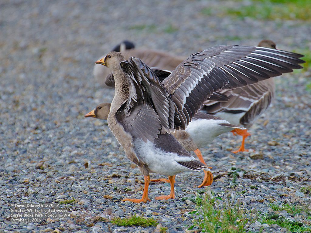 1279m2 Greater White-fronted Goose