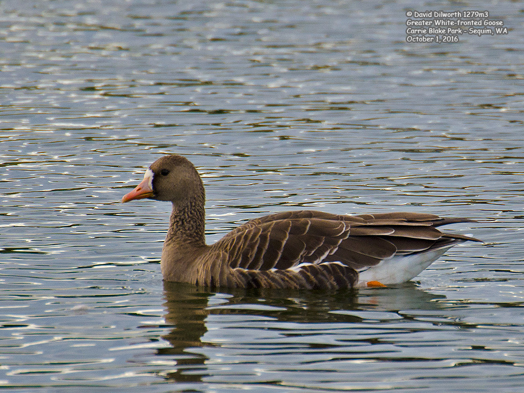 1279m3 Greater White-fronted Goose