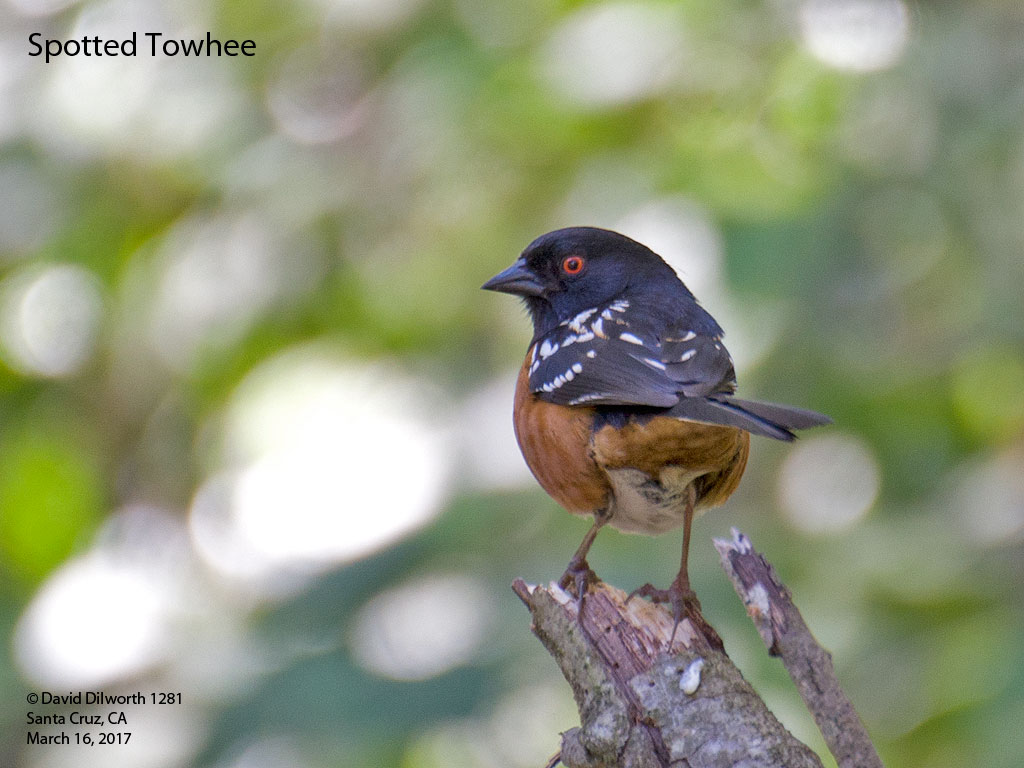 1281 Spotted Towhee