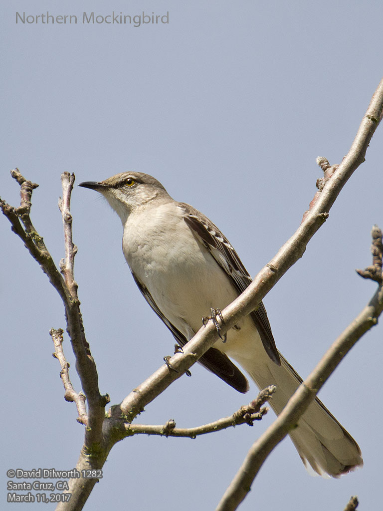 1282 Northern Mockingbird