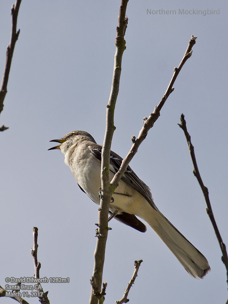 1282m1 Northern Mockingbird
