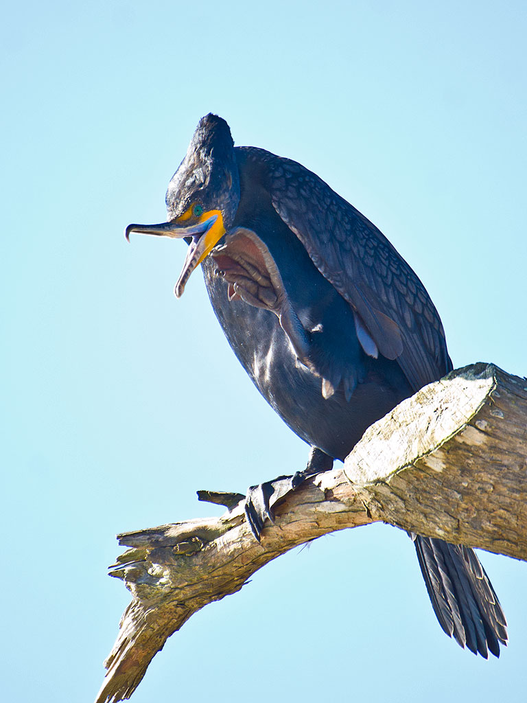 1283 Double-crested Cormorant