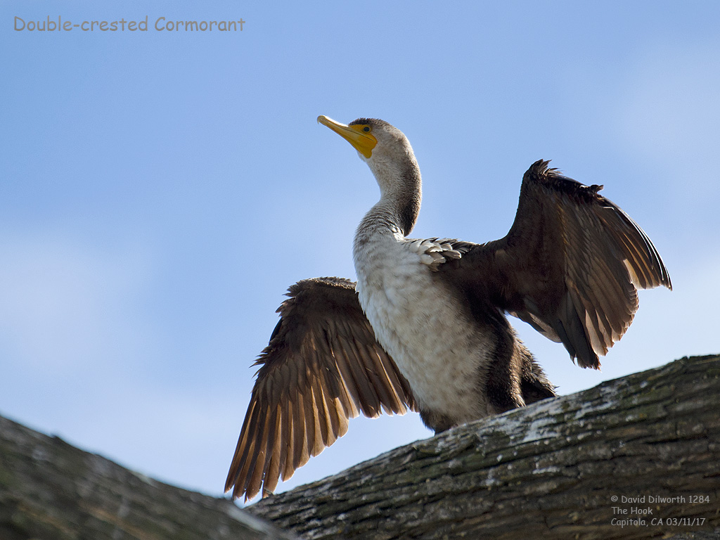 1284 Double-crested Cormorant