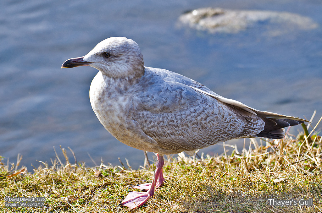 1286m Thayer's Gull