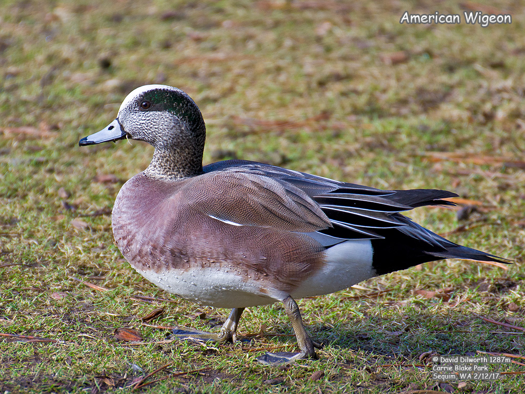 1287m American Wigeon
