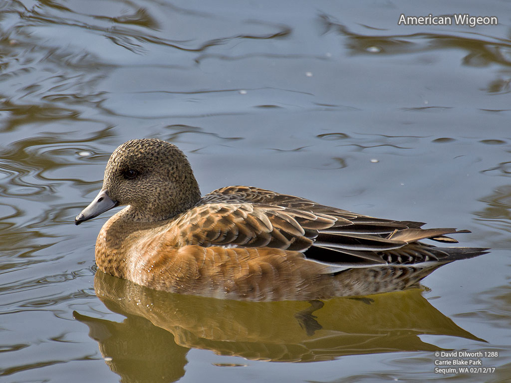 1288m American Wigeon