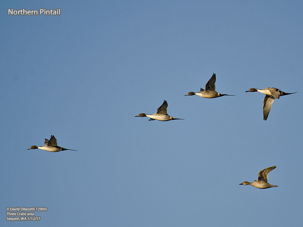 1290m Northern Pintail