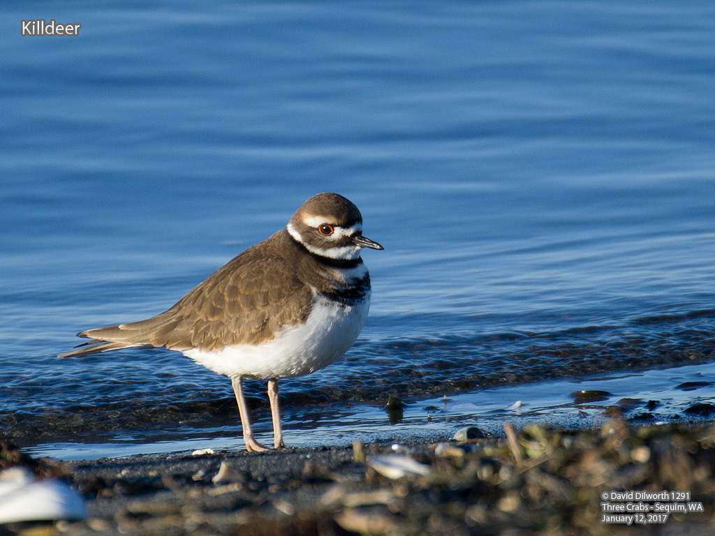 1291 Killdeer