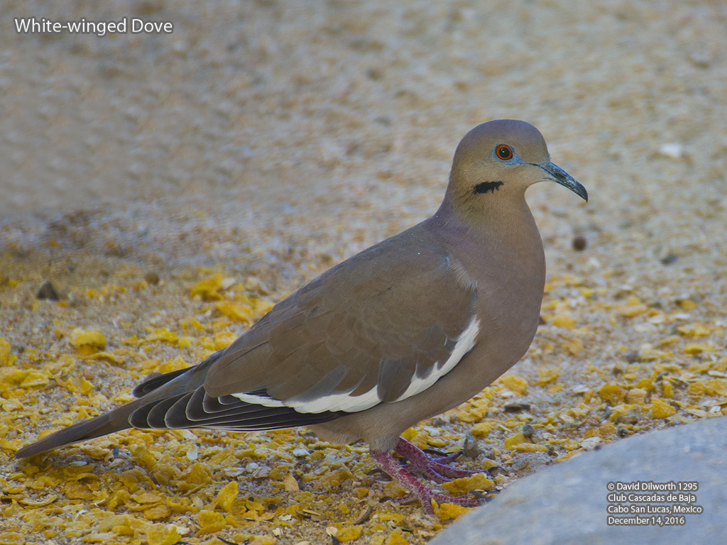 1295 White-winged Dove