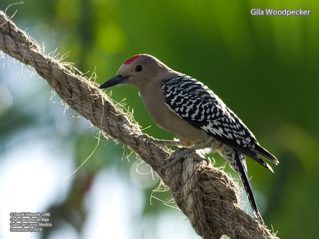 1296 Gila Woodpecker