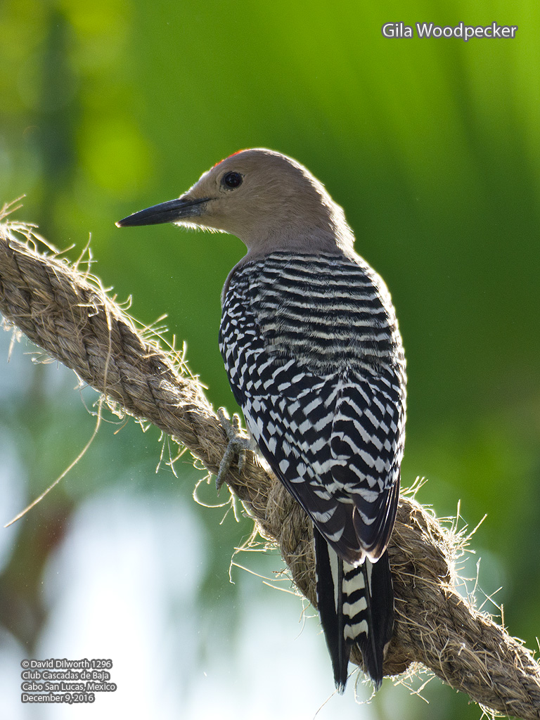 the features of the gila woodpecker
